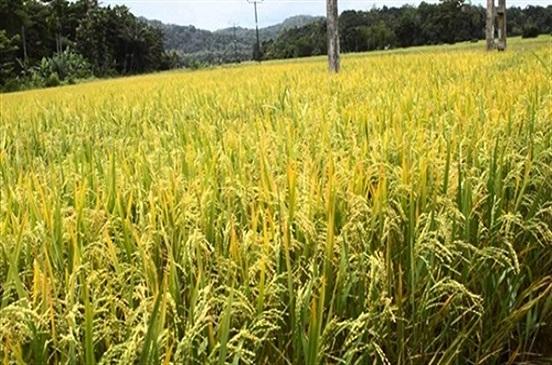 رئيس شعبة الأرز ينتقد قرار وزير التموين بتجميع الأرز من الفلاحين