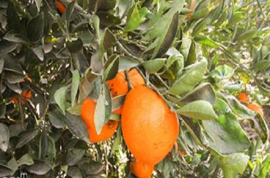الزراعة تشكل لجانا بمزارع الخضر والفاكهة لزيادة الإنتاج ومنع تساقط الثمار