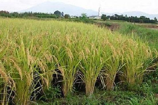 خبراء يطالبون بتجربة زراعة الأرز في أسوان.. ويحذرون: أسعار توريده غير مناسبة