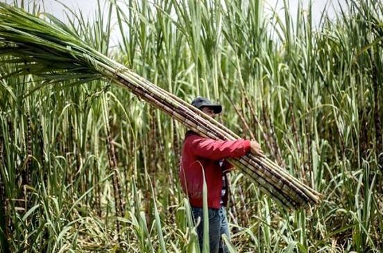 نقيب الفلاحين: البنجر أفضل بديل لزراعة قصب السكر لهذا السبب