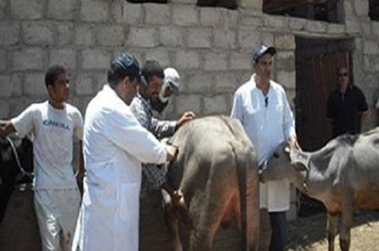 تحصين 17170 رأس ماشية ضد الحمى القلاعية بالقليوبية