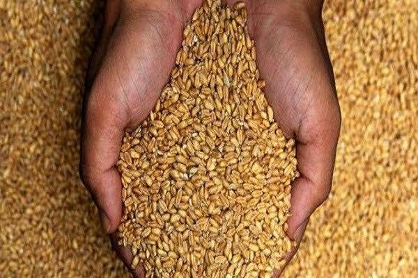 الستار علي موسم توريد القمح للحكومة باستثناء ٨ محافظات .. تعرف عليها
