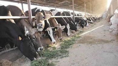 تفريغ 5900 رأس ماشية حية بميناء غرب بورسعيد