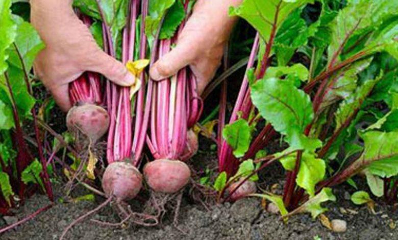 «الزراعة»: استمرار حصاد البنجر وتوريد 60 ألف طن لمصانع السكر