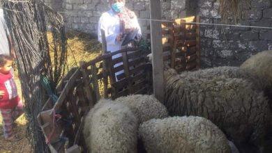 """""""الزراعة"""" تنفذ زيارات ميدانية لأسواق المواشي قبل عيد الأضحى"""